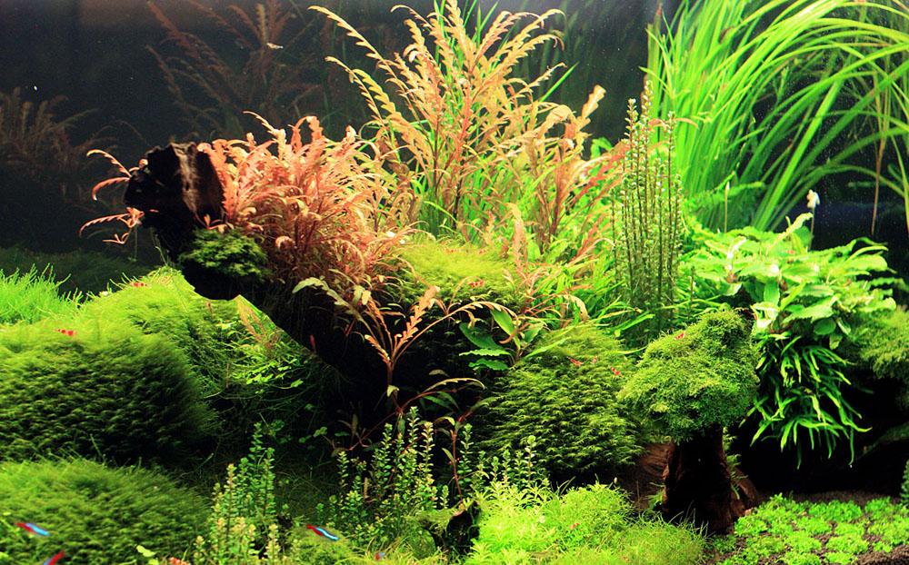 Фрагмент аквариума из предыдущей версии экспозиции в Аптекарском огороде. На фотографии можно видеть различные мхи, гигрофилу пиннатифиду (hygrophila pinnatifida) и буцефаландру (Bucephalandra sp.).