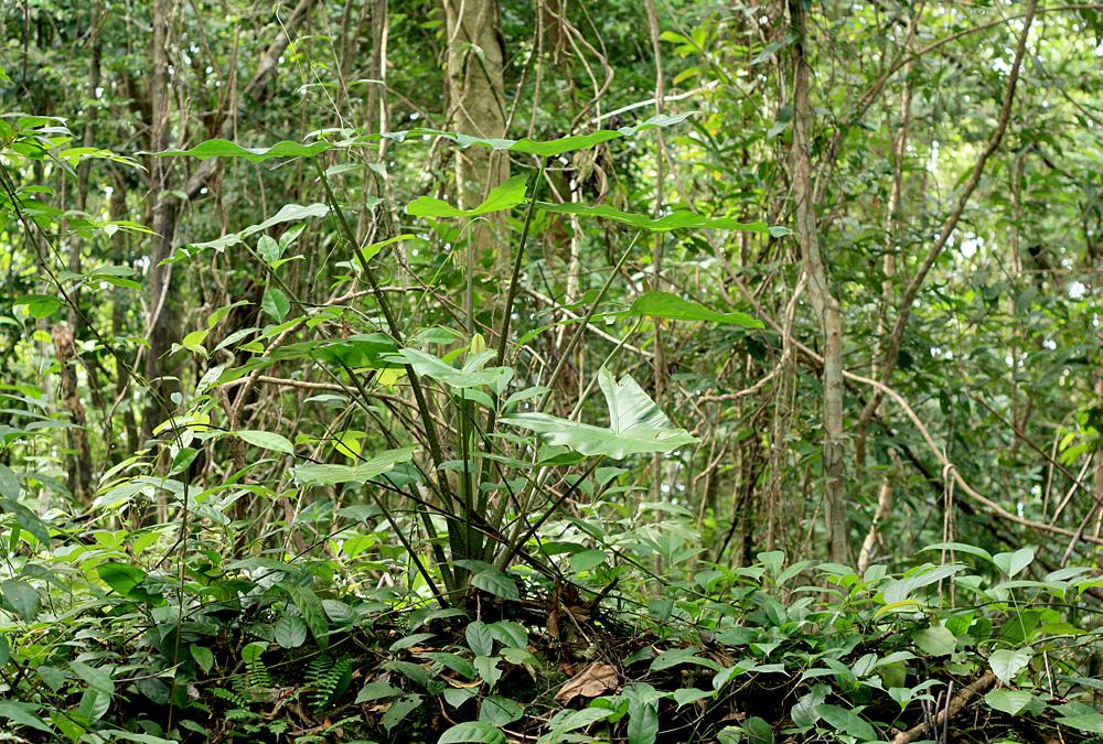 Алоказия длиннолопастная (Alocasia logiloba) - один из ярких представителей ароидной флоры острова Фукуок (Вьетнам).