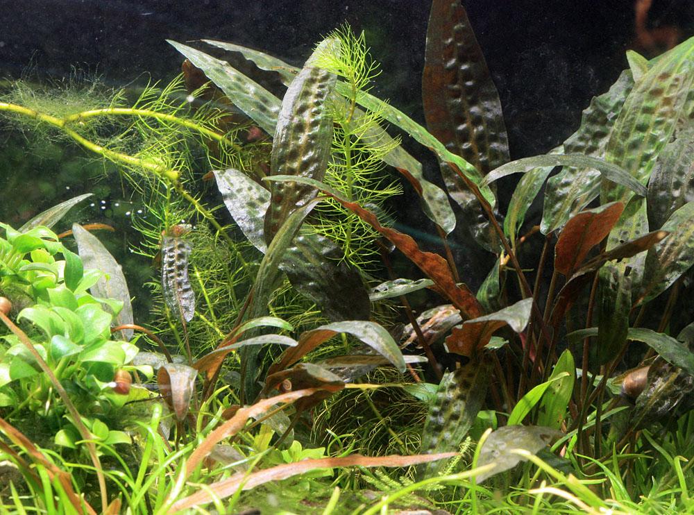 Криптокорина родственная (Cryptocoryne affinis) в домашнем аквариуме. Этот вид был очень популярен среди аквариумистов в Советскую эпоху, однако ныне незаслуженно забыт. На мой взгляд, эта одна из самых красивых криптокорин, способных неограниченно долго и без особых проблем развиваться в воде средней жесткости.