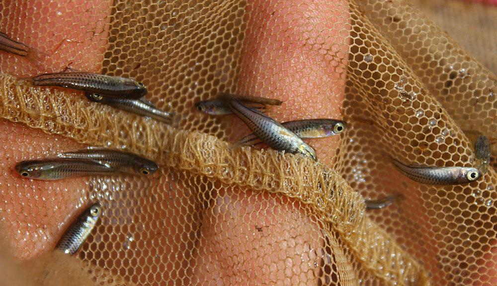Настоящее золото Австралии - голубоглазки Псевдомугил Гертруды (Pseudomugil gertrudae).