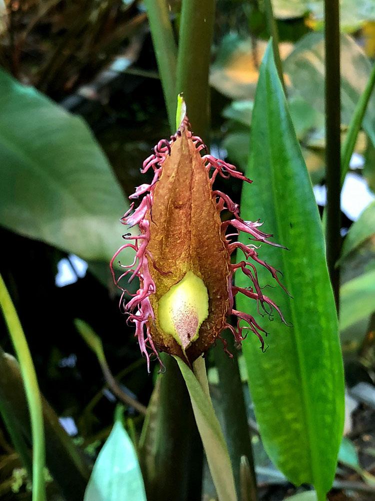 """Цветение криптокорины реснитчатой (Cryptocoryne ciliata) в водной оранжереи ботанического сада """"Аптекарский огород"""" на проспекте Мира."""