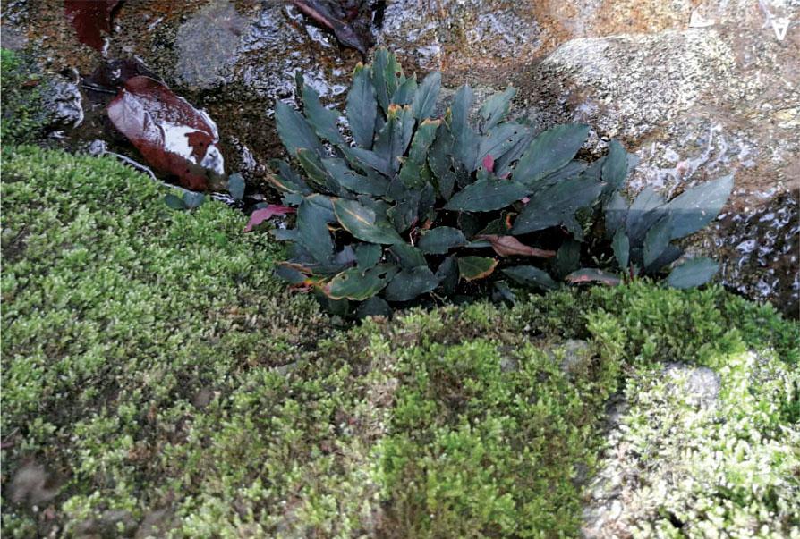 Буцефаландра данумская (Bucephalandra danumensis) в на камнях водопада Tembaling Falls в штате Сабах - очередная находка Питера Бойса. Это всего лишь второй случай обнаружения буцефаландр в этом малазийском штате.
