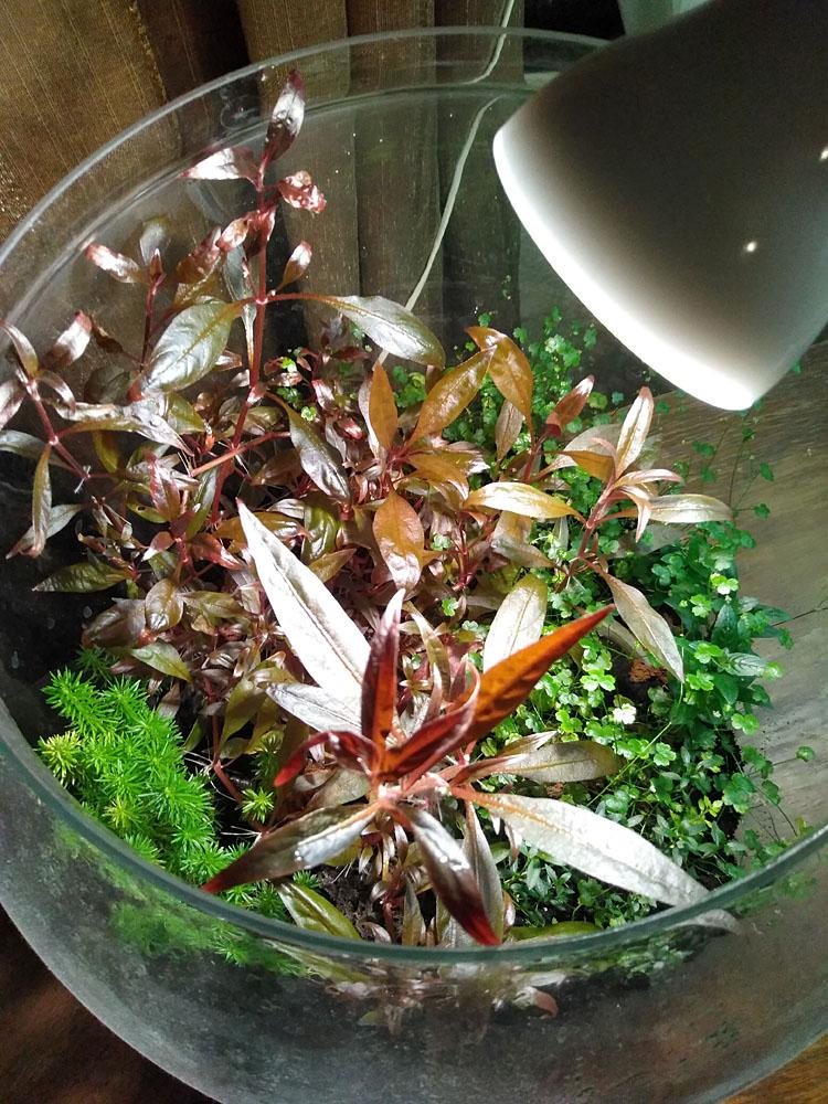 Флорариум - один из вариантов небольшого живого уголка на рабочем столе. Создание флорариума и уход за ним не потребует от хозяина значительных усилий.
