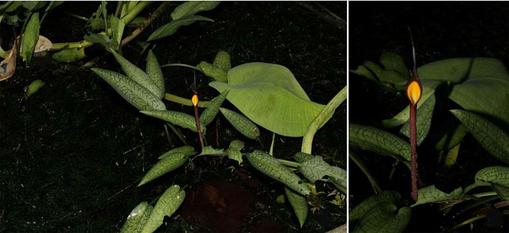 Криптокорина Джошана (Cryptocoryne joshanii) в джунглях своего родного острова Басилан. После этого открытия число видов филиппинских криптокорин достигло шести.