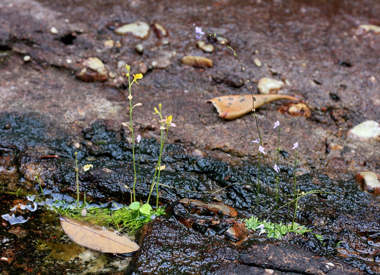 Пузырчатки на каменистом берегу небольшого горного ручья в центральной части вьетнамского острова Фукуок. Пузырчатки являются гетеротрофами, поскольку часть своего питания получают за счет переваривания насекомых. Такой тип питания объясняет мало развитые листья растения.