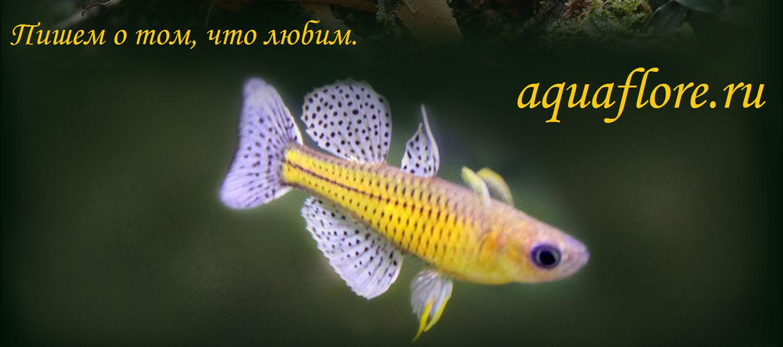 Псевдомугил гертруды (Pseudomugil gertrudae) - эффектная аквариумная рыбка для небольших аквариумов.