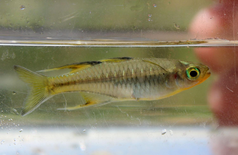 Псевдомугил сигнифер (Pseudomugil signifer). Квинсленд, Австралия.