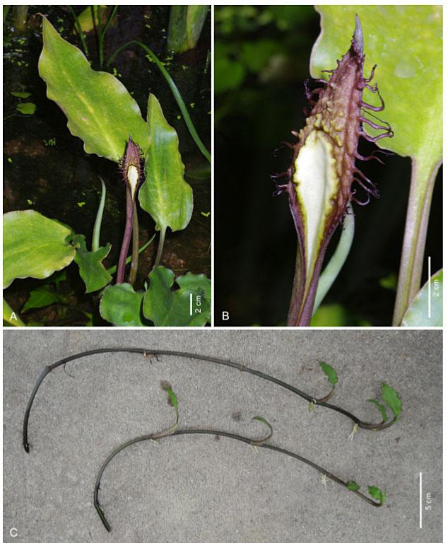 Новая вариация криптокорины реснитчатой (Cryptocoryne ciliata var. bogneri) имеет тетраплоидный набор хромосом (2n = 44). Отличается от диплоидной цилиаты меньшими размерами листьев.