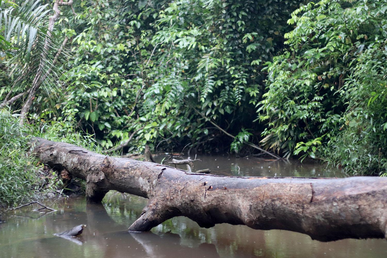 Небольшая речка, пересекающая трассу Pekanbaru - Jambi, оказалась местом обитания интересной криптокорины (Cryptocoryne sp.) с сюрпризом. Местные считают растение криптокориной забавной (Cryptocoryne scurrilis). Однако к этой точке зрения есть много вопросов и претензий.