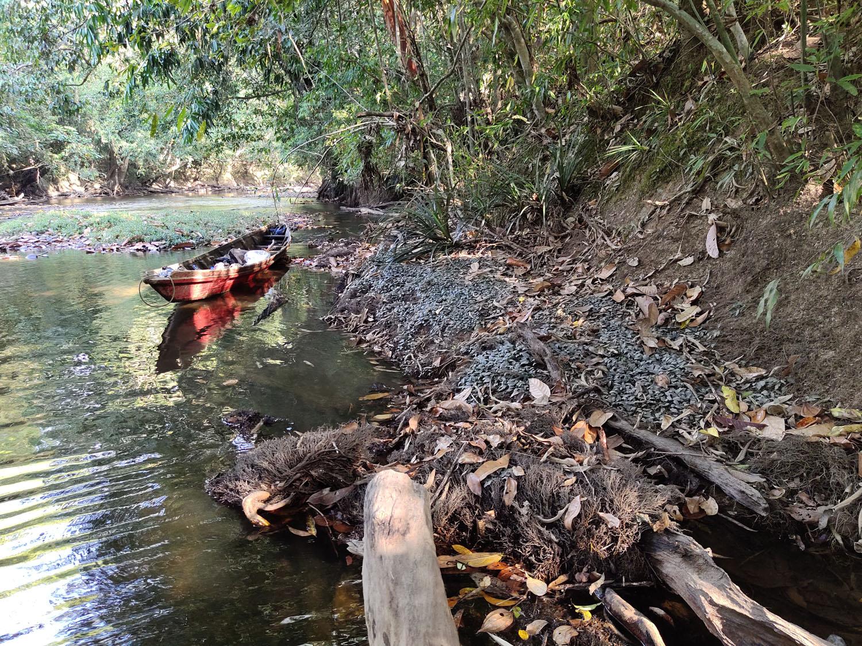 Небольшая речушка шириной 10-15 м, являющаяся притоком реки Pawan River в Западном Калимантане, служит домом новой криптокорины - Криптокорина Тиртадината (Cryptocoryne tirtadinatae). Растение растет вдоль берегов у самого уреза воды. В русле реки меж тем растет другая криптокорина - криптокорина мелкополосатая (Cryptocoryne striolata).