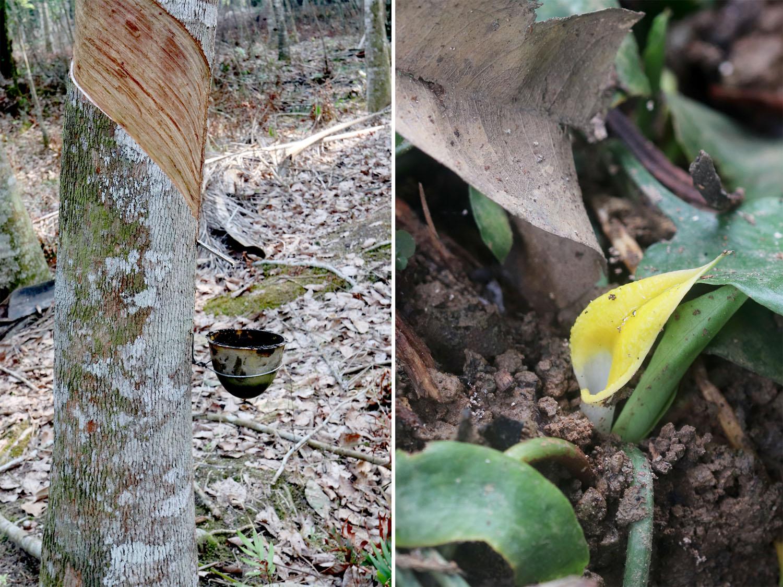 Биотопы криптокорин очень различны по своей структуре и составу. Очень часто бывает, что эти аквариумные растения населяют не только дикие джунгли, но и сельскохозяйственные посадки (например, плантации пальм и бразильской гевеи). В представленном здесь видео, речь как раз пойдет о последнем типе биотопов. Среди рукотворных плантаций нашли свой приют криптокорина шутовидная (Cryptocoryne scurrilis) и криптокорина сердцевидная (Cryptocoryne cordata var. wellyi).
