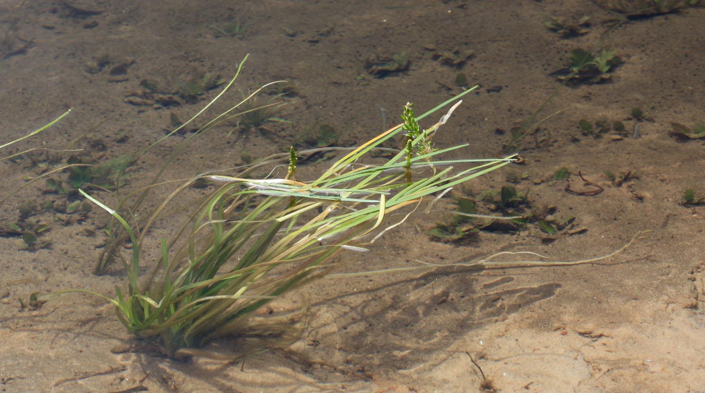 Цикногетон сомнительный (Cycnogeton dubius) - интересное австралийское водное растение, которое формой листьев напоминает валлиснерию, бликсу или сагиттарию, но значительно отличается от них строением соцветие. Растение было обнаружено в реке Джардин (Jardine River), Квинсленд, Австралия.