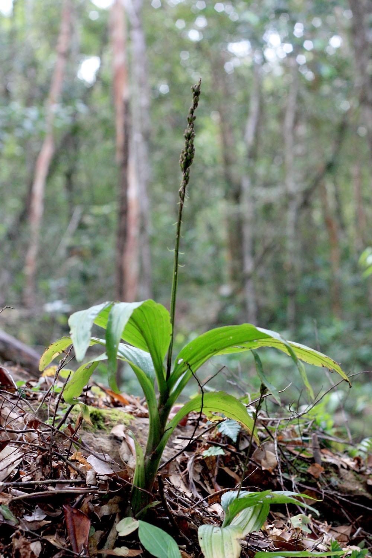 Диения бровастая (Dienia ophrydis) в национальном парке на острове Фукуок (Phu Quoc Island). Стадия плодоношения. Вскорее эта шикарная розетка отмрет, дав жизнь нескольким новым растениям как генеративно (из семян), так и вегетативно (из корневых отростков).