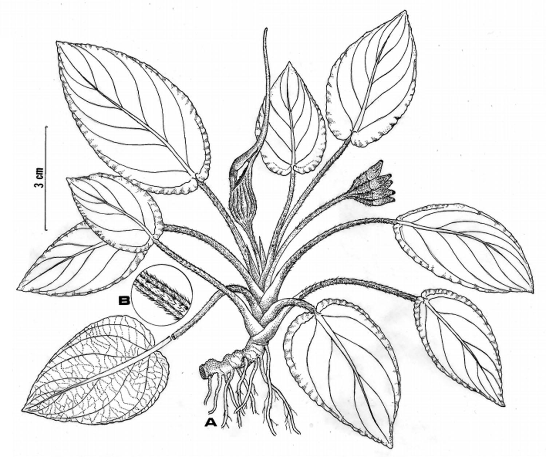 Рисунок лагенандры керальской (Lagenandra keralensis) из ее первоописания. Авторы публикации (Сивадасан с коллегами) даже на рисунке заостряют внимание на то, что некоторые части растения имеют маленькие волоски.