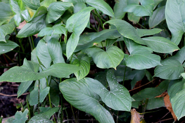 Неотеническая форма лазии колючей (Lasia spinosa) в природе на острове Шри-Ланка. Растение отличается от привычной лазии тем, что во взрослом состоянии имеет ювенильную форму листа.