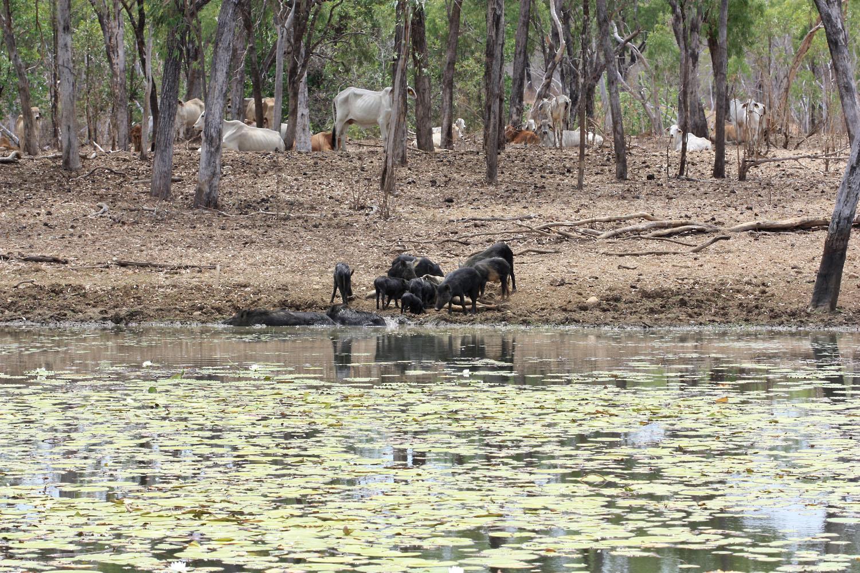 В австралиском штате Квинсленд обитает 16 представителей рода Nymphaea или по простому - водных кувшинок. Очень часто их можно встретить в прудах на пастбищах крупного рогатого скота. При этом в Австралии специфическое отношение к трупам животных - их не убирают, что делает места обитания кувшинокочень специфическими.