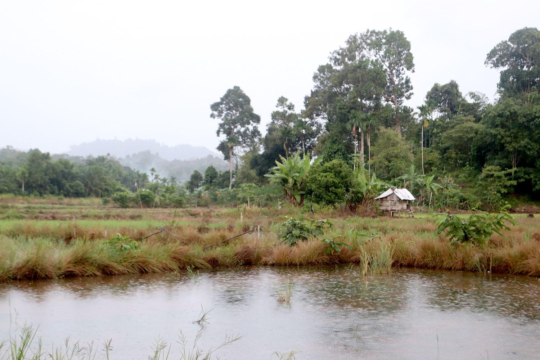 """Рис является основным """"хлебом"""" индонезийцев, а рисовые поля окружают каждую деревушку в этом регионе. Нас же больше влекли не агротехнические вопросы рисоводства, а обязательное наличие пресноводных водоемов в непосредственной близости от посадок. Именно в таком водоеме нам посчастливилось встретить известных аквариумных рыбок, барбусов-олиголеписов (Oliotius oligolepis). Calang, Aceh, Sumatra."""