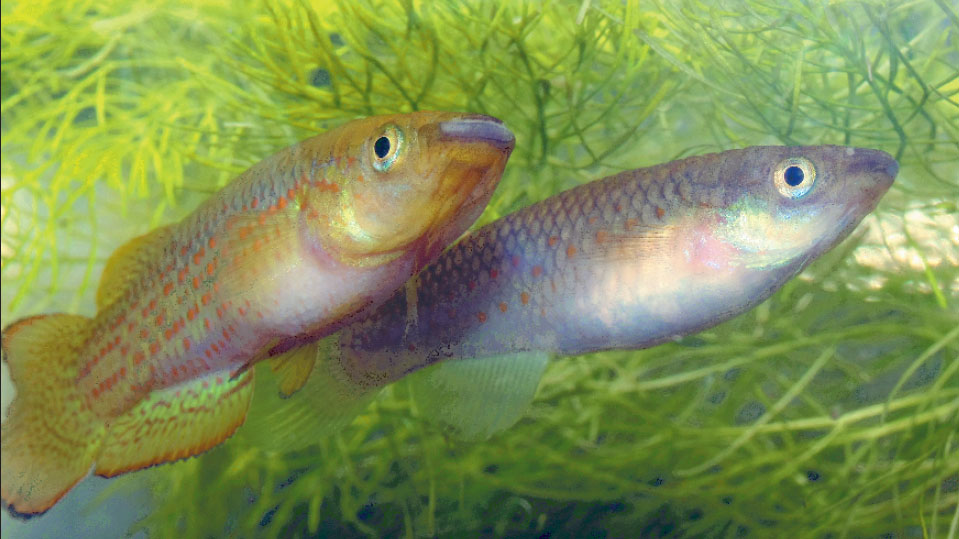 Нерест панхаксов Пляйфера (Pachypanchax playfairii) в аквариуме.