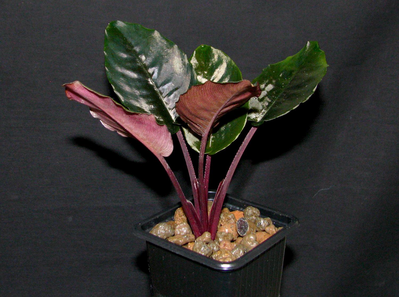 """Схизматоглоттис Пикачу (Schismatoglottis sp. """"Pikachu"""") - один из самых красивых представителей своего рода. Растение хорошо подойдет для украшения влажных террариумов или флорариумов."""