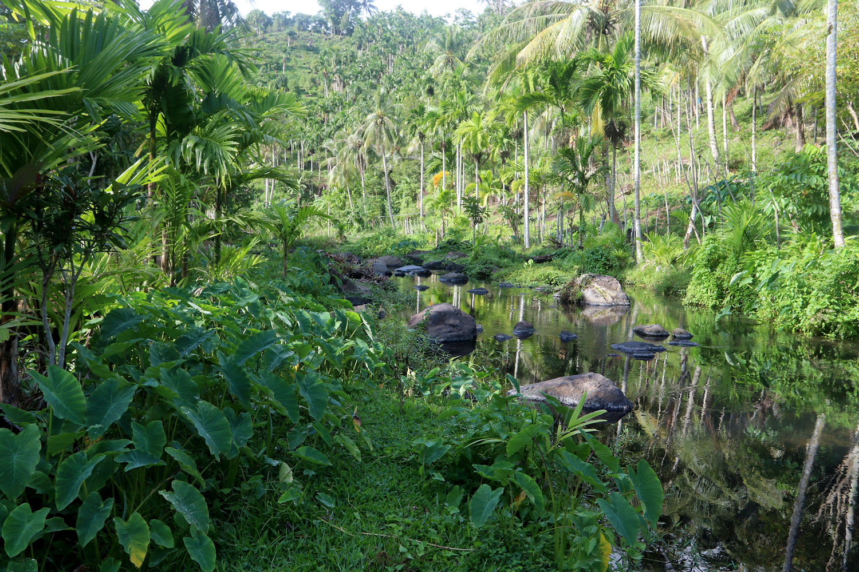 Ихтиологи насчитывают на индонезиском острове Вех (Weh Island) всего четыре реки. На фотографии одна из них. Скорее это небольшие ручьи спускающиеся с гор. В целом остров достаточно плотно населен. На переднем плане можно видеть, высаженную человеком, Колоказию съедобную (Colocasia esculenta).
