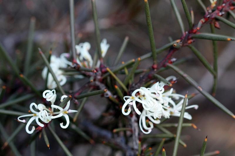 Hakea decurrens
