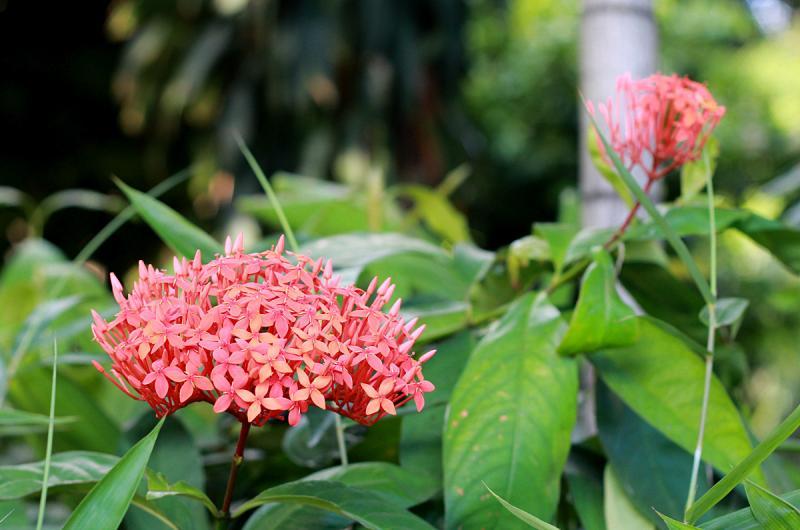 Ixora philippinensis