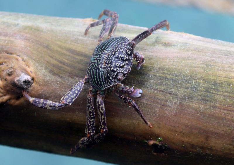 Pachygrapsus cf. crassipes