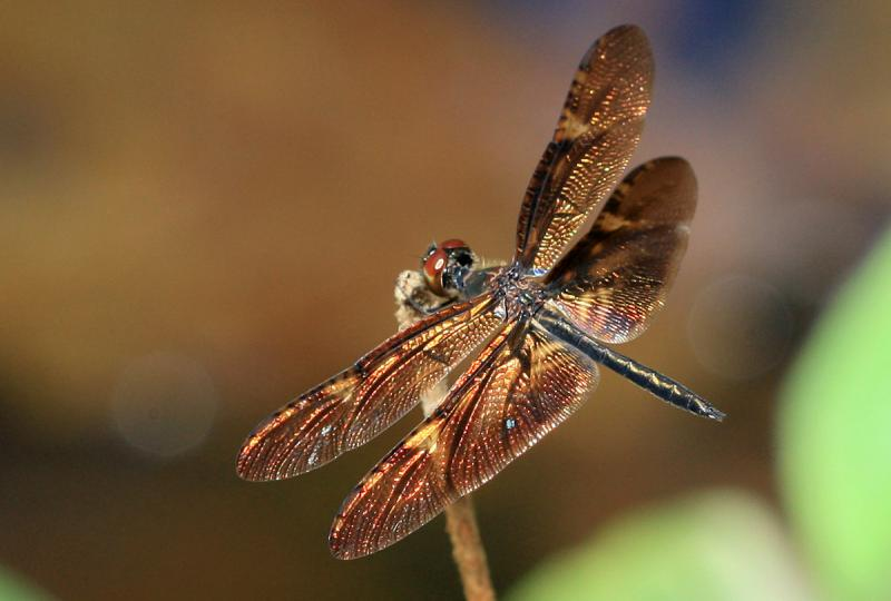 Rhyothemis obsolescens