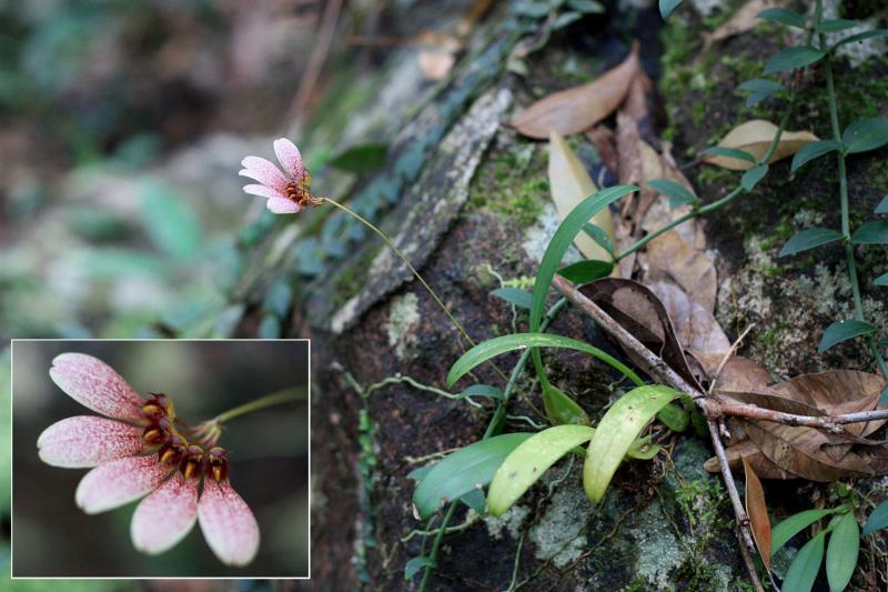 Bulbophyllum flabellum-veneris