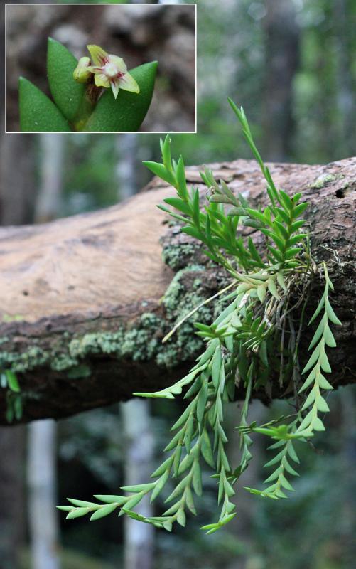 Dendrobium indivisum