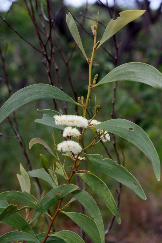 Acacia calyculata