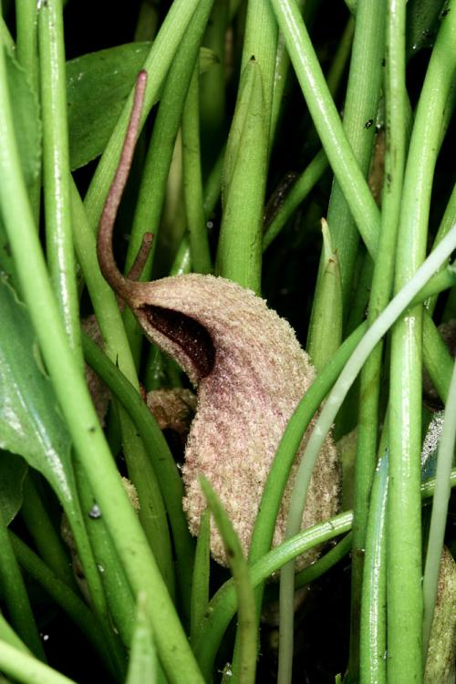 Lagenandra lancifolia