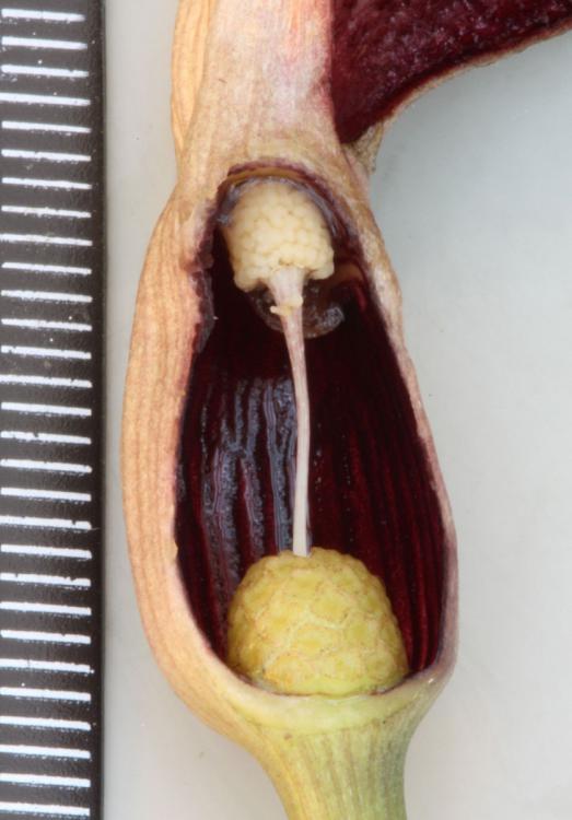 Lagenandra meeboldii