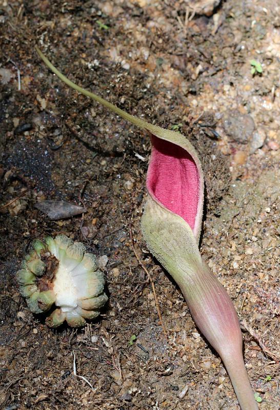 Lagenandra praetermissa