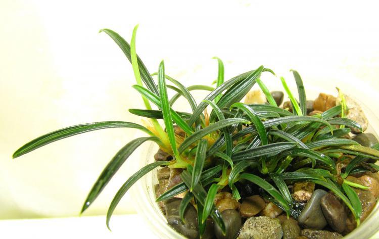 Aridarum velutandrum