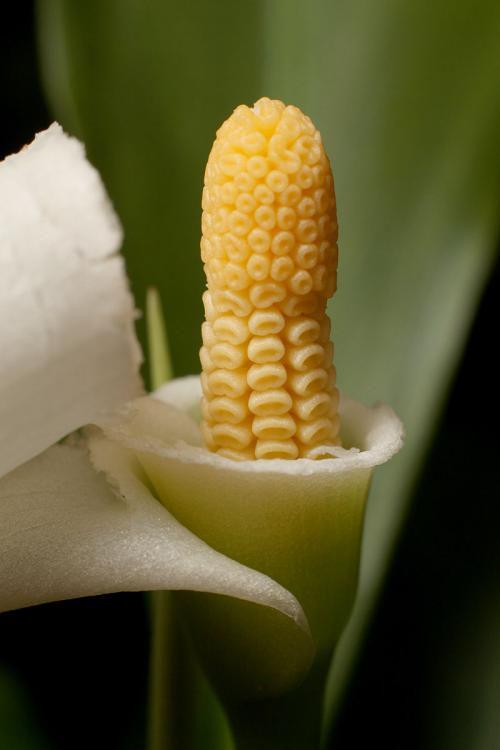 Hybrid Aridarum caulescens x Bucephalandra bogneri