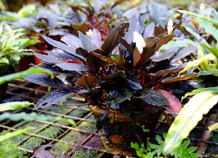 Bucephalandra kishii