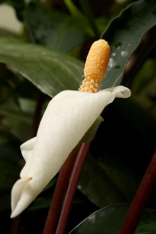 Bucephalandra sp. Serian