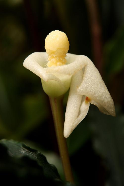 Bucephalandra spathulifolia