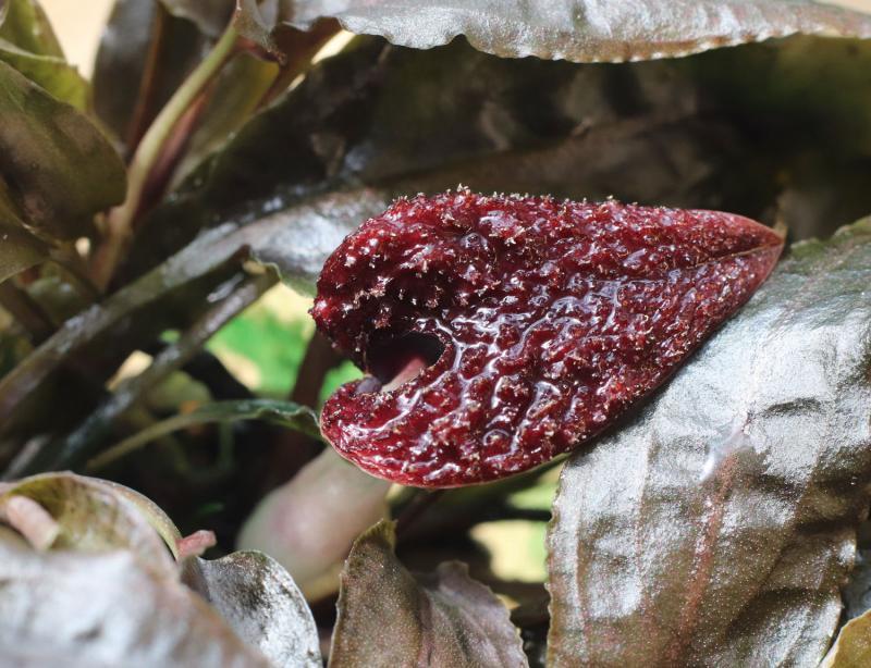 Cryptocoryne nurii var. nurii