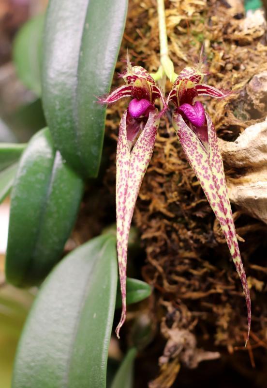 Bulbophyllum ×putidum