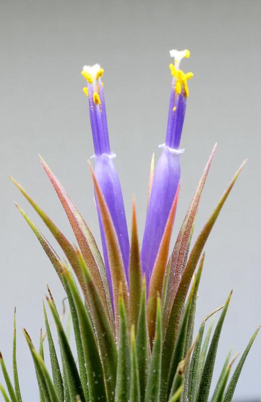 Tillandsia ionantha