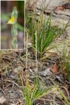 Philydrum lanuginosum