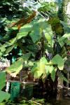 Cyrtosperma johnstonii