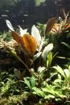 Bucephalandra Batang Ai