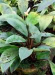 Bucephalandra forcipula