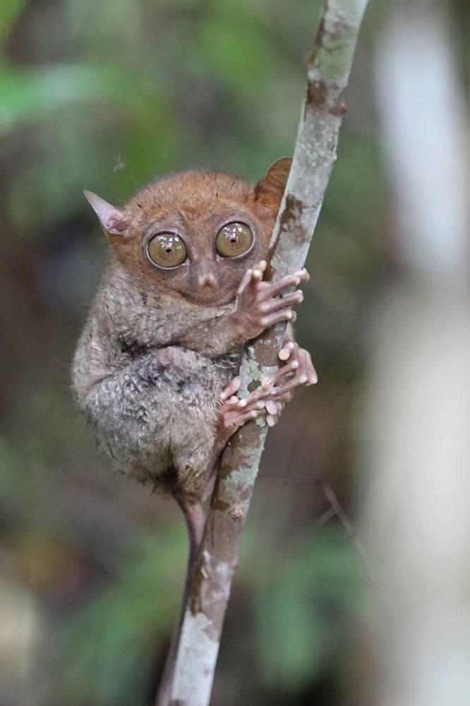 Филиппинский долгопят (Carlito syrichta). Несмотря на широко раскрытые глаза животное днем спит, ухватившись за какую-нибудь ветку. Питаются долгопяты насекомыми, охотясь в ночное время суток.