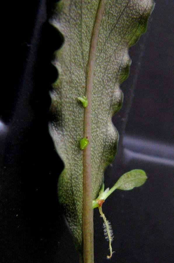 The leaf-buds on the leaf's central vein of the hybrid B. sordidula × B. spathulifolia. It is important to mention that the leaf doesn't change its shape after the buds have been appeared on it. Photo: S. Bodyagin.
