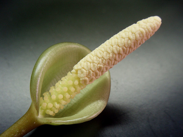Inflorescence of Anubias heterophylla Engl. The spathe does not limit direct access to female flowers. Photo: D. Loginov.