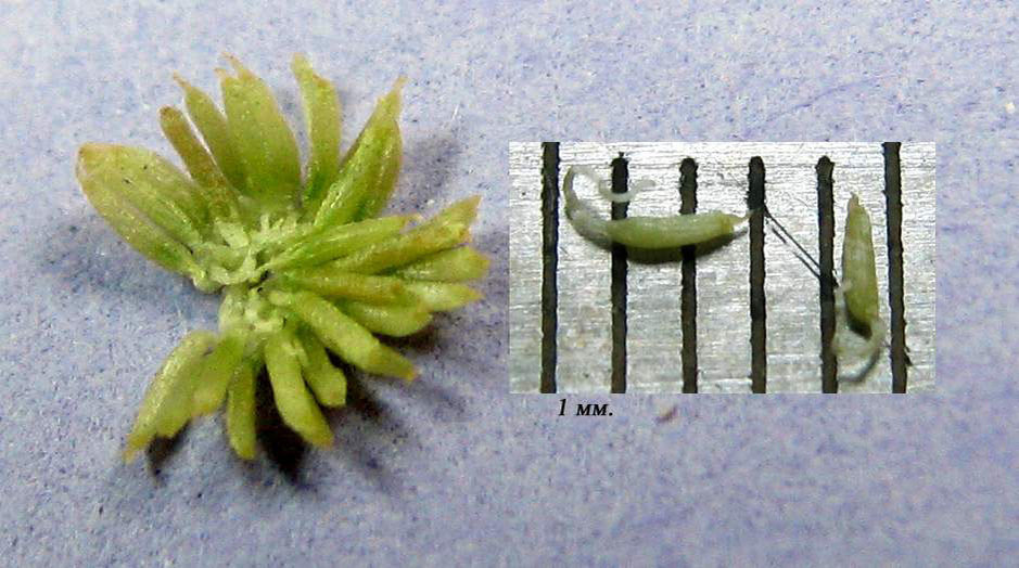 Seeds (24 pieces) of Bucephalandra which were isolated from one berry. Photo: S. Bodyagin.
